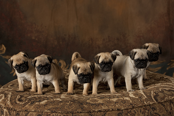 About pugs